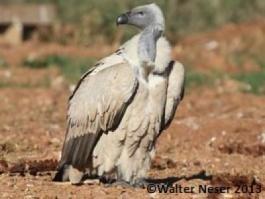 Cape Vulture - Adult